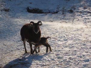 1st-lamb-2018