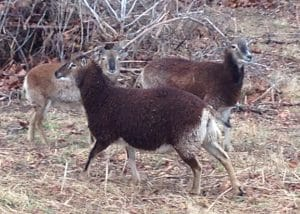 female soay sheep