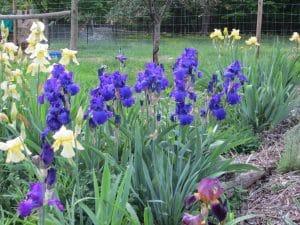 Deep Blue Iris