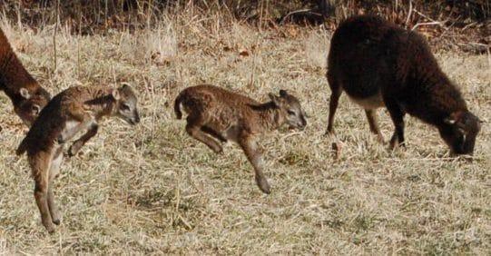 lambs frolicing
