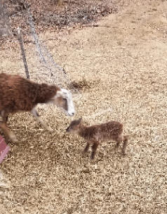 mama sheep and baby