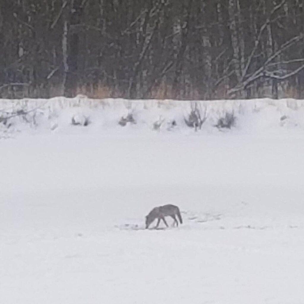 Coyote on Lake